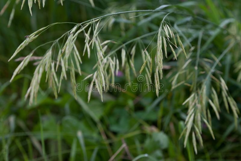 Pow Trivialis or Rough Bluegrass close up shot. Rough Bluegrass is a native plant in prairies and meadows and also used by landscape designers for commercial and stock photo