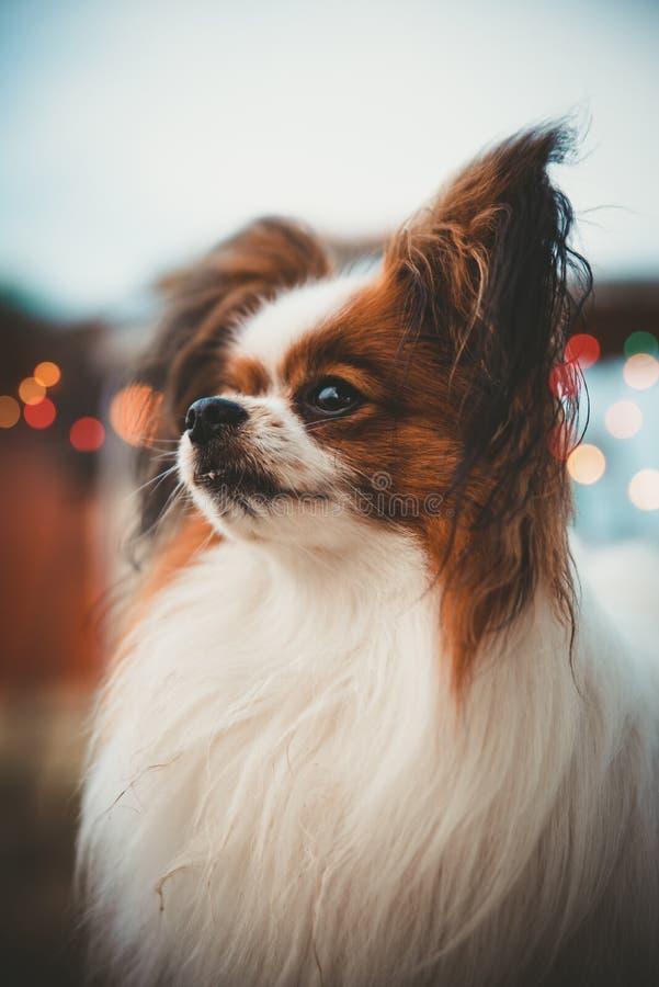 Poważnego papillon psa pionowo portret z bokeh zaświeca w tle Epagneul Nain Kontynentalny brąz psi robi s i biel zdjęcia royalty free
