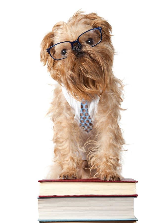 poważni psi szkła obraz royalty free