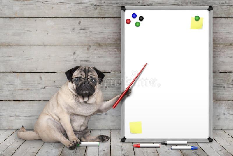 Poważny mopsa szczeniaka psa siedzący puszek, wskazuje przy pustą białą deską z żółtymi notatkami i magnesami, na drewnianej podł obrazy royalty free