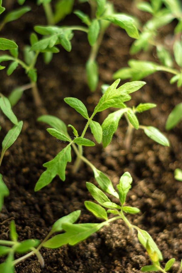 Powabne małe pomidorowe rozsady na tle brown ziemie od czerni ziemi zdjęcie royalty free