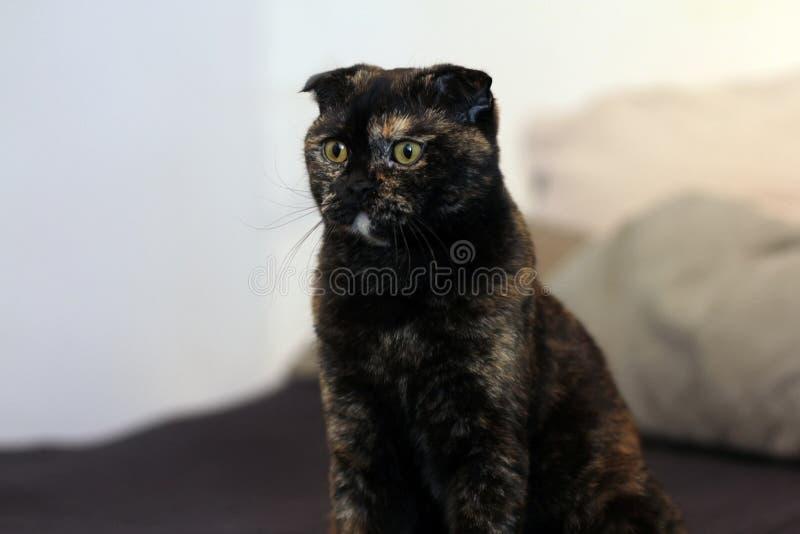 Powabnego kędzierzawego kota Szkocki fałd siedzi na spojrzeniach z dużymi żółtymi oczami i łóżku strona Koloru czarny ? fotografia royalty free