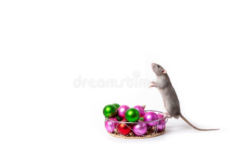 Powabni szczura Dumbo stojaki na sw?j tylnych nogach obok choinki bawj? si? nowego roku karty symbolu nowy rok obraz stock