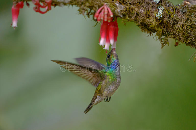 Powabny Hummingbird w Costa Rica obrazy royalty free
