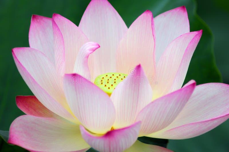 powabny lotos obrazy royalty free