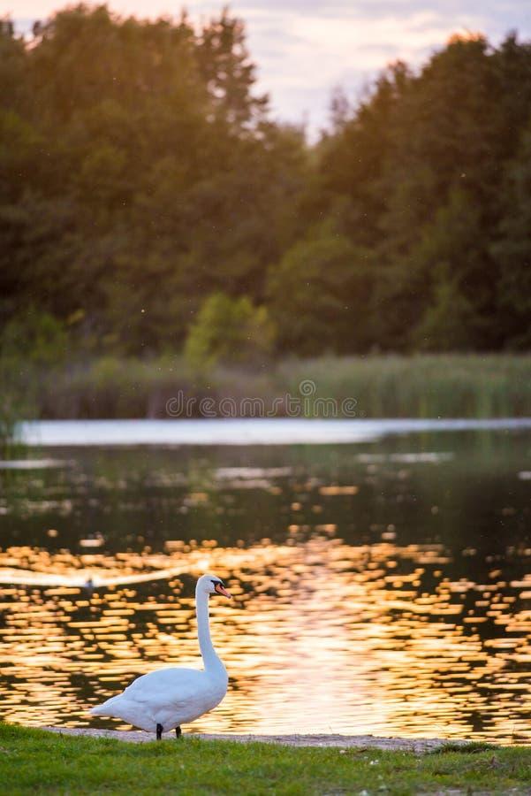 Powabny niemy łabędź na brzeg blisko jezioro wody zdjęcie royalty free