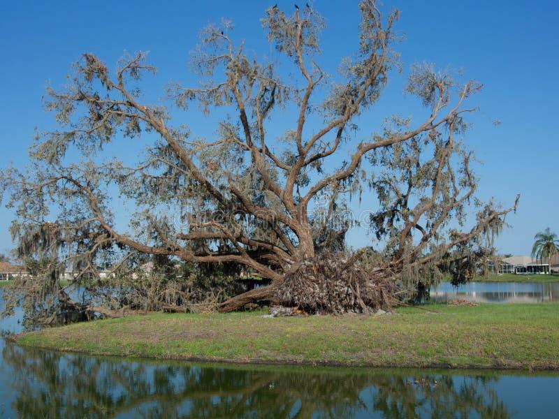 Powalony Dębowy drzewo zdjęcia stock