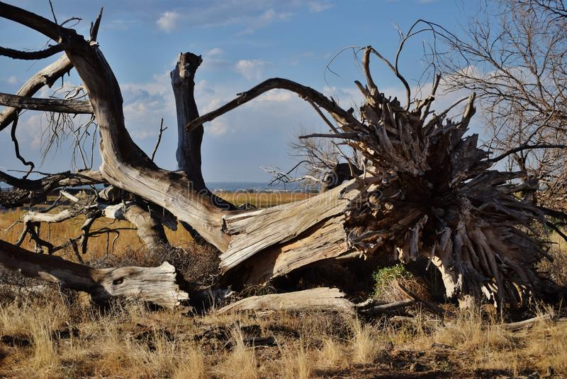 Powalony drzewo obrazy royalty free