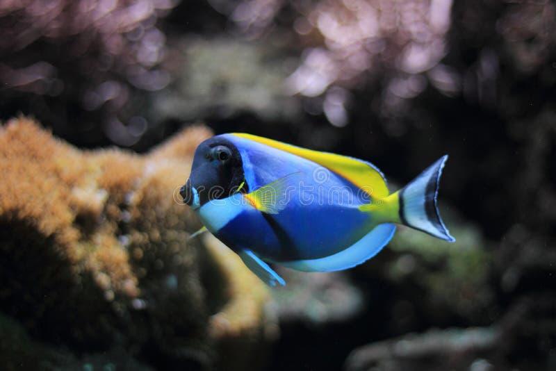Powder-blue surgeonfish stock photography