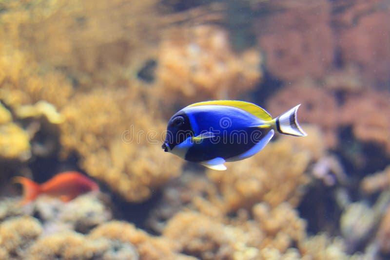 Powder-blue surgeonfish royalty free stock photography