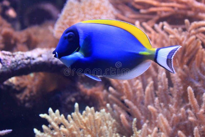 Powder blue tang stock photography