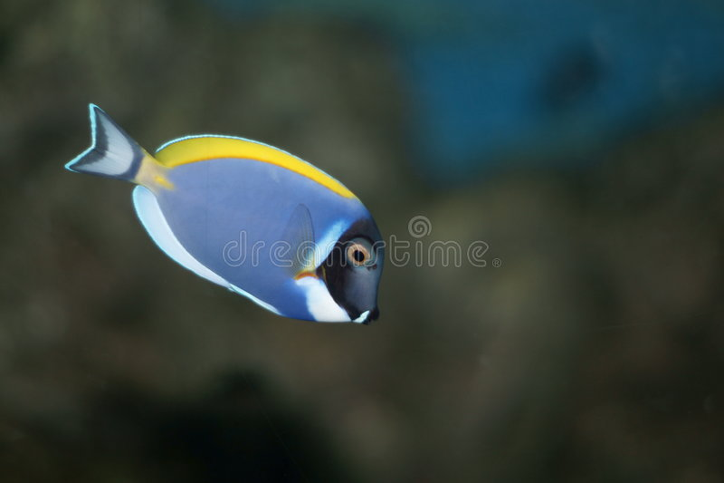 Powderblue Surgeonfish (Acanthurus leucosternon) stockfotos