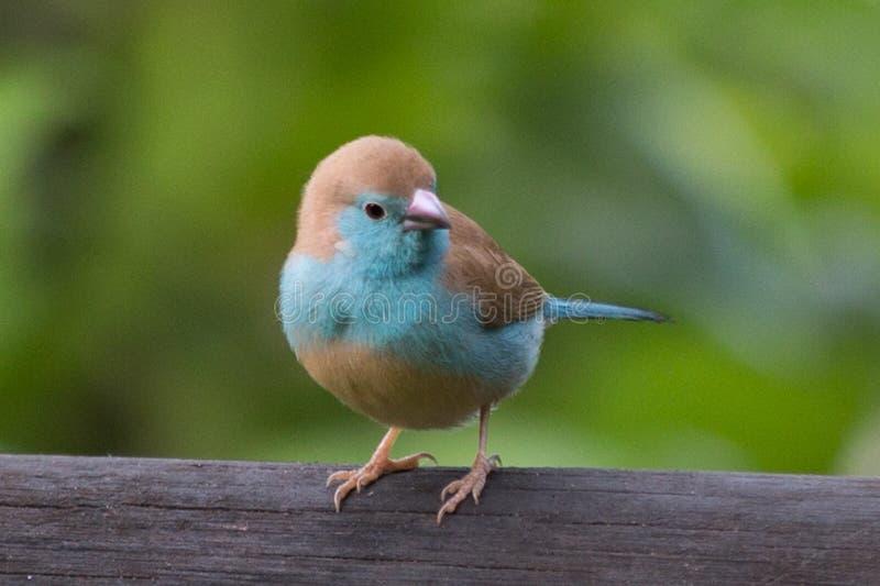 Powderpuff蓝色Waxbill 免版税库存照片