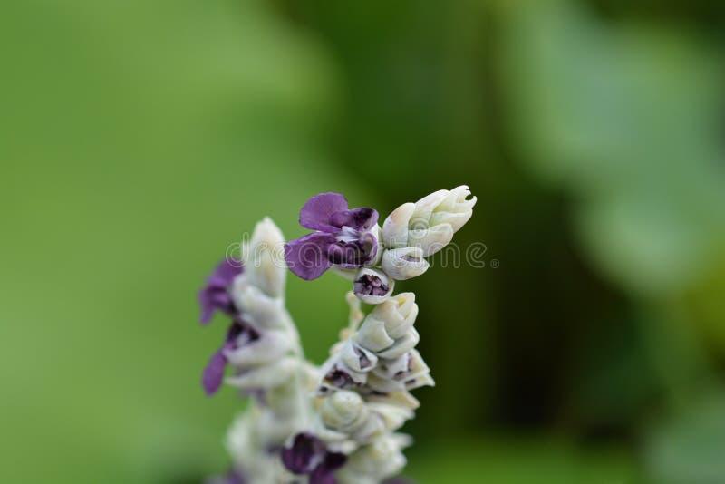 Powdery alligator-flag. Flower - Latin name - Thalia dealbata stock photo