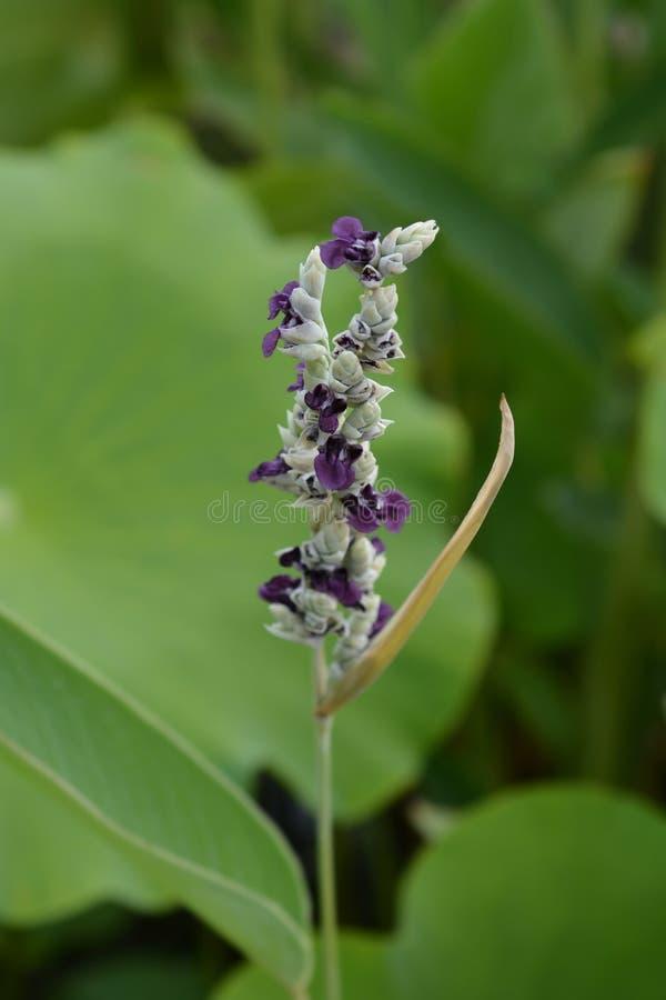 Powdery alligator-flag. Flower - Latin name - Thalia dealbata stock images
