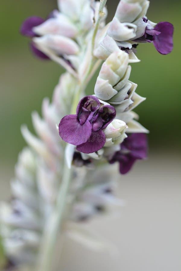 Powdery alligator-flag. Purple flower - Latin name - Thalia dealbata royalty free stock photos