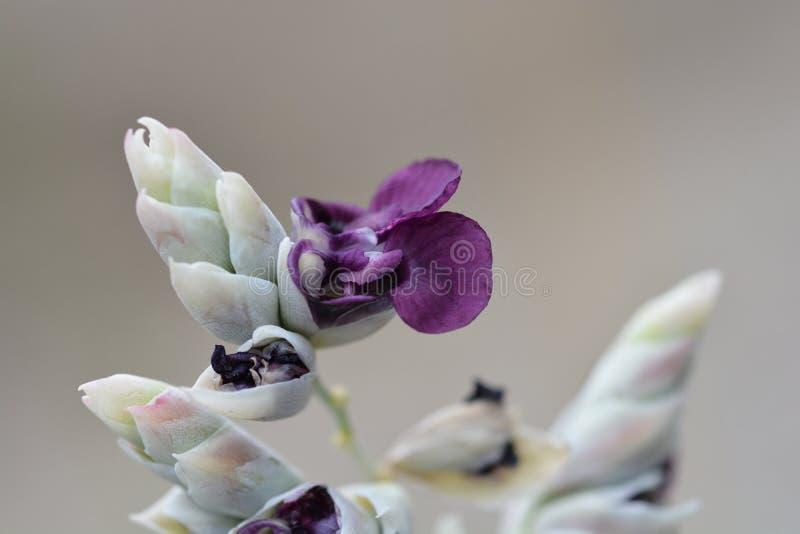 Powdery alligator-flag. Purple flower - Latin name - Thalia dealbata stock photo