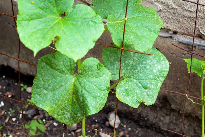 Powdery mildew caused by Podosphaera aphanis on green cucumber leaf. Plant disease, diseased, fungi, pathogen, pathology, phytopathology, spot, white stock images