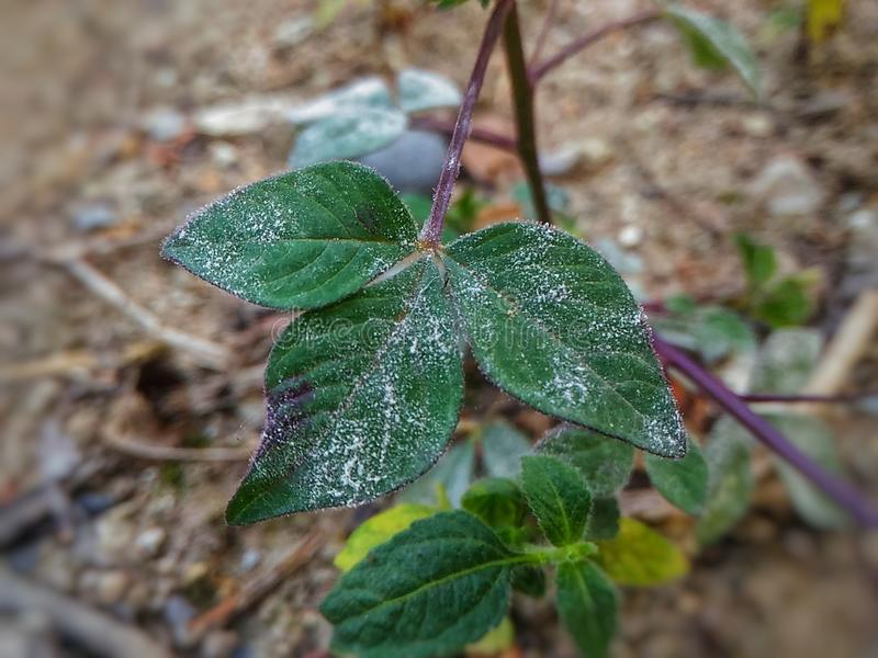 Powdery mildew. Is a fungal disease that affects a wide range of plants royalty free stock images