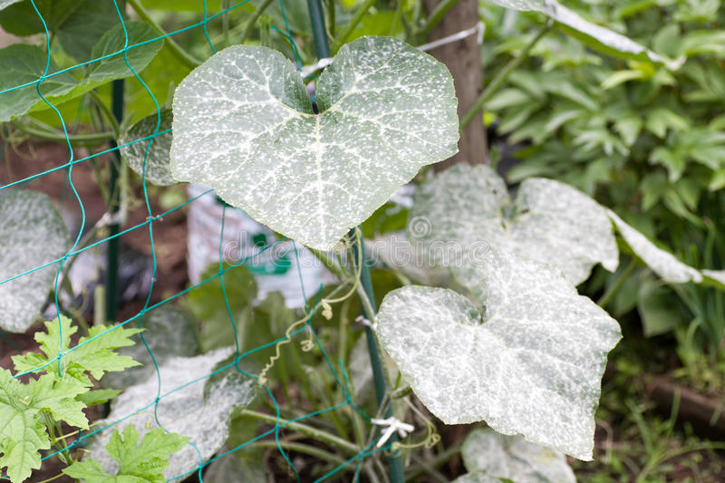 Powdery mildew. On the leaves of pumpkins stock photos