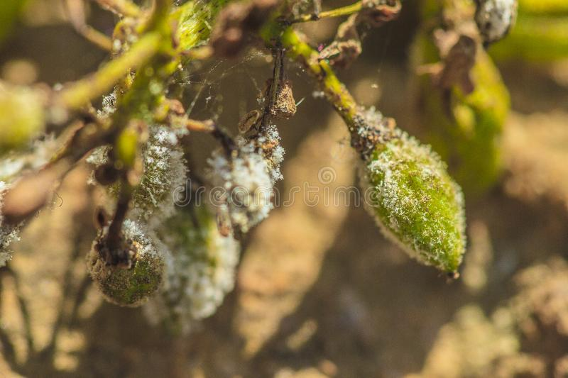 Powdery mildew ongrape. Grape attacked by the powdery ew caused by Erysiphe necator, in a vineyard in Jijel, Algeria stock photo