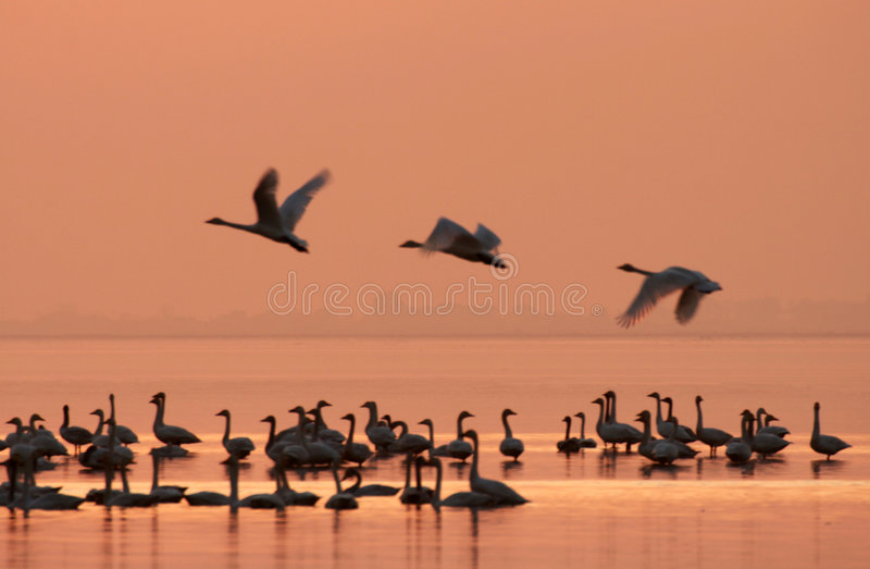 Power. Swans are flying powerful in the sunset stock photo