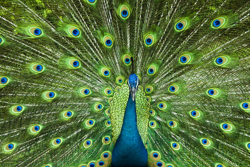 Power of beauty. Peacock at a Safari showing off her asset of beauty stock image