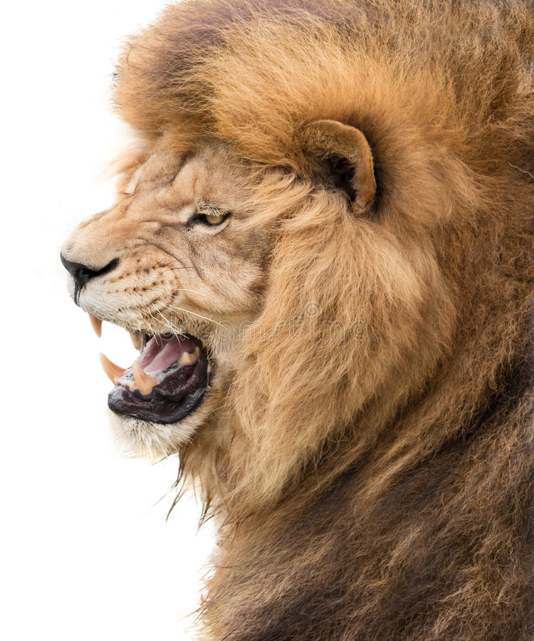 Power of lion. Mighty angry lion isolated on white background royalty free stock photography