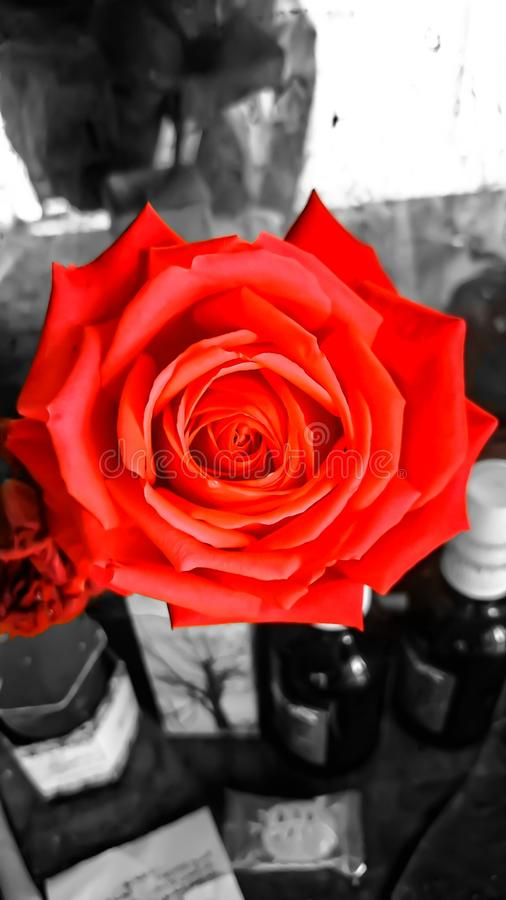 The power of roses royalty free stock photos