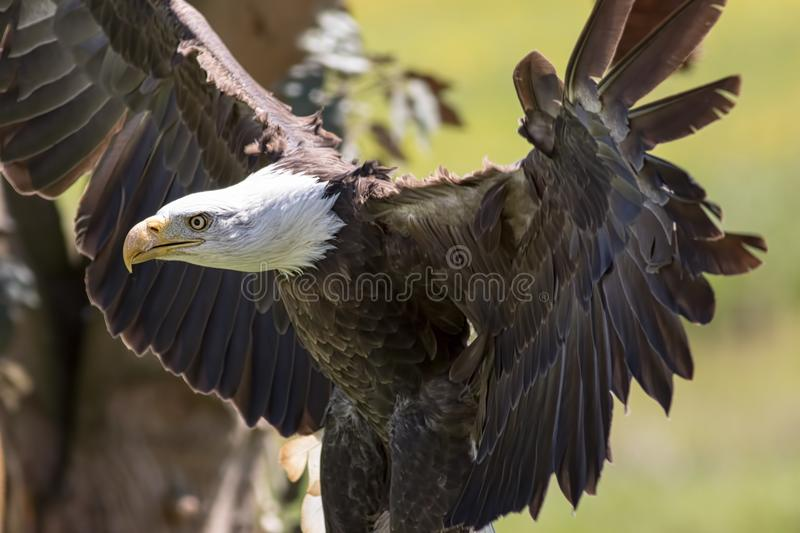 Powerful American bald eagle bird of prey. Strong animal predator. With wings outstretched. USA national bird royalty free stock photos