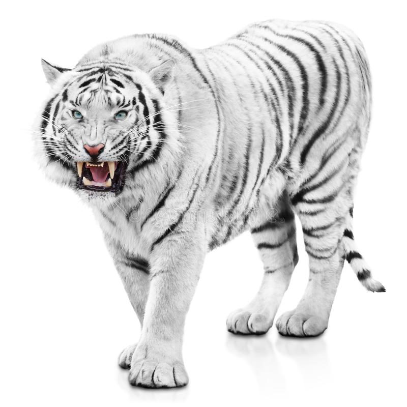 Furious white tiger. Powerful and angry white tiger isolated on white background royalty free stock images
