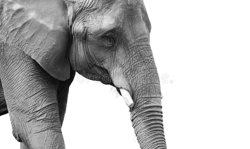 Download powerful black and white elephant portrait stock photo image of ivory grey