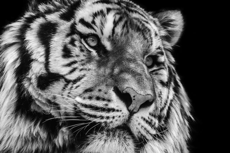 Powerful black and white high contrast animal portrait of a tiger face. Black and white close-up of a fierce tiger face isolated against a black background royalty free stock images