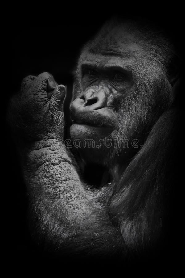 Powerful hand. The brutal muzzle face of a powerful and strong male gorilla is a symbol of masculinity and wildness. Isolated. Powerful hand. The brutal muzzle stock images
