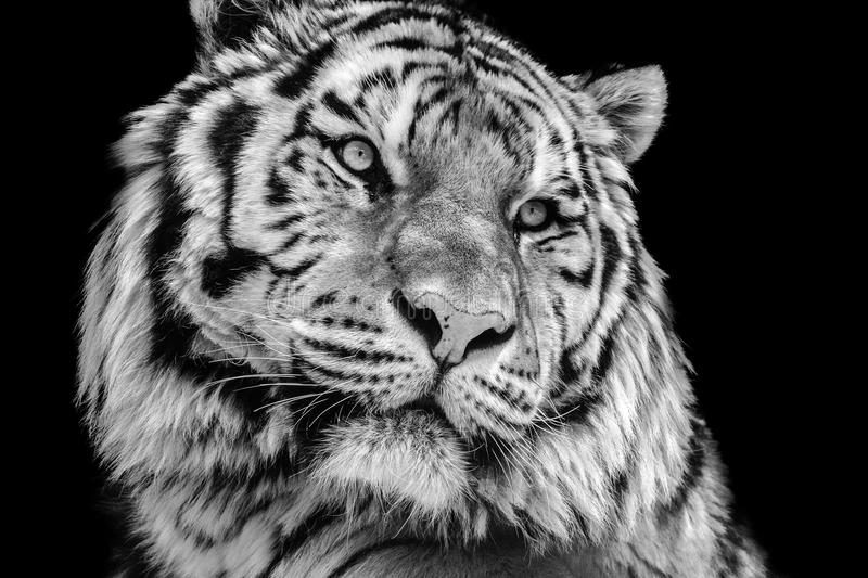 Download powerful high contrast black and white tiger face stock photo image of danger