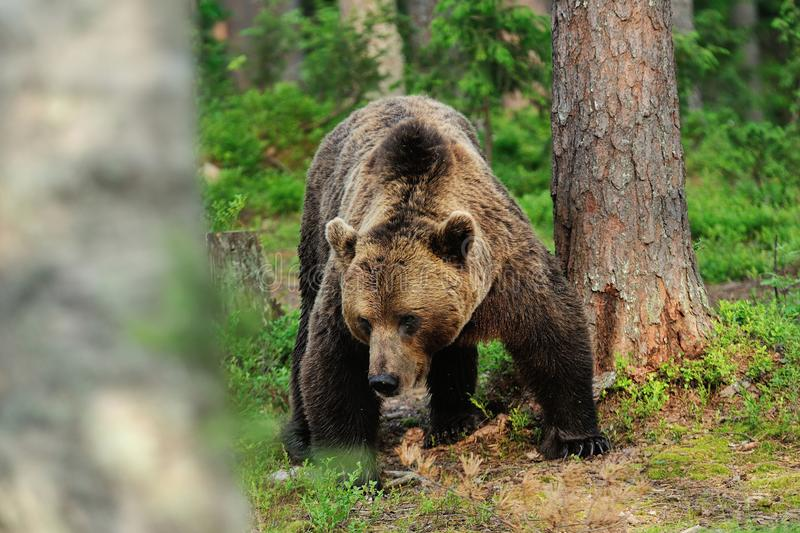 Powerful male brown bear stock photography