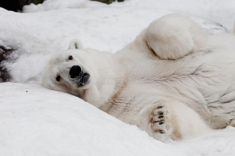 A powerful male imposingly lying and looking with his paws folded. Powerful polar bear lies in the snow, close-up. A powerful male imposingly lying and looking stock image