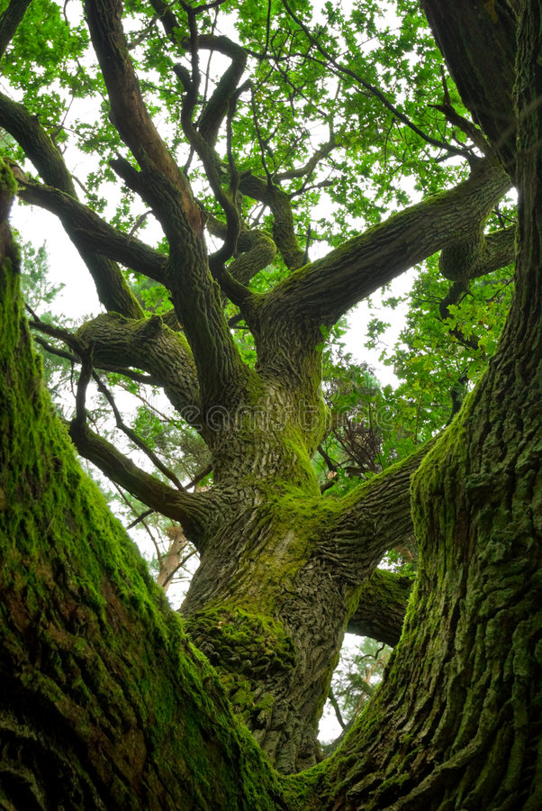 Free Powerful Oak. Royalty Free Stock Photo - 3994745
