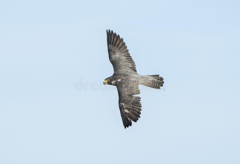 Peregrine Falcon Falco peregrinus in Fight. The Powerful Peregrine Falcon Falco peregrinus in Fight royalty free stock photo