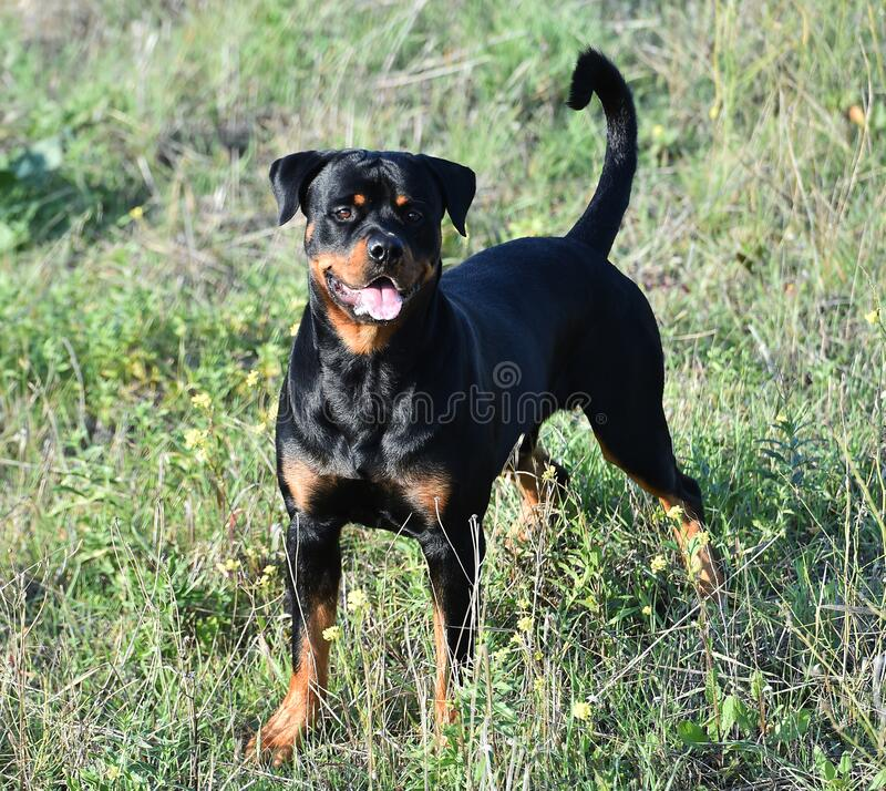 A powerful rottweiler in the green field stock photography