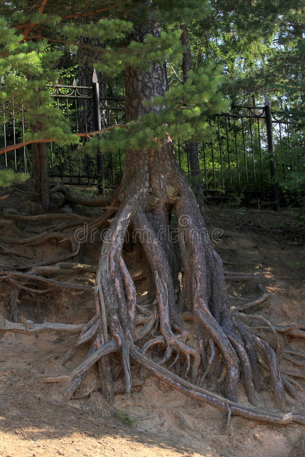 Powerful tree roots stock photography