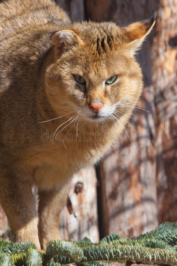 Powerful wild big reed cat  swamp trot, jungle cat close up lit by the sun stock photos