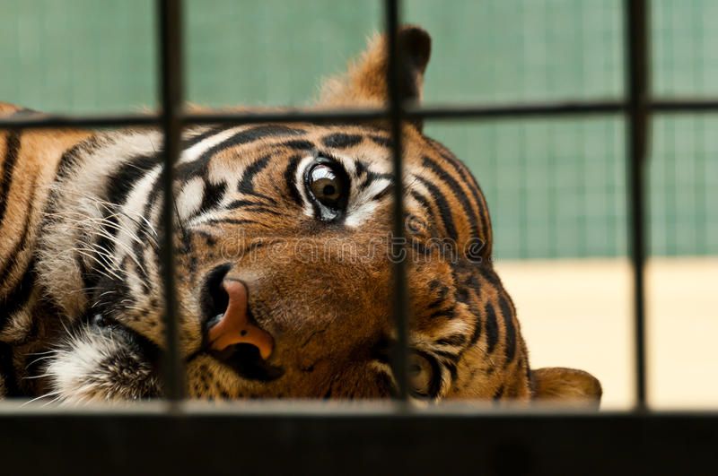 Powerless tiger. A sad bengal tiger in captivity behind the bars stock photo