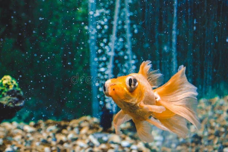 powiedz co? akwarium z?otej rybki chce Zako?czenie Goldfish z białym ogonem Cudowny i nieprawdopodobny podwodny świat z rybą zdjęcie stock