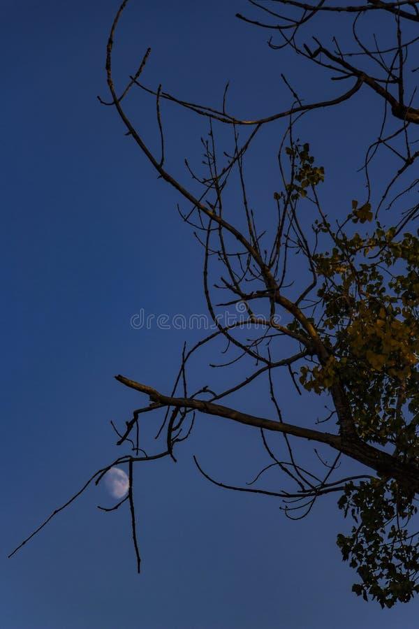 Powstająca księżyc łapiąca między suchymi topolowymi gałąź w Kladovo, Serbia obraz royalty free
