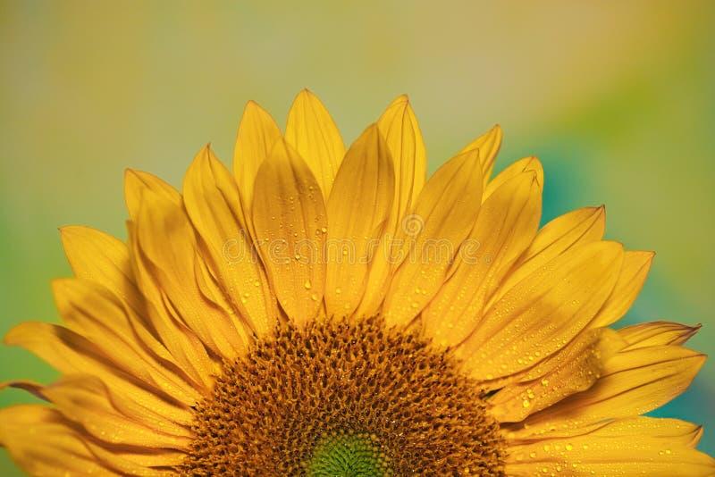 Powstanie słonecznika fotografia stock
