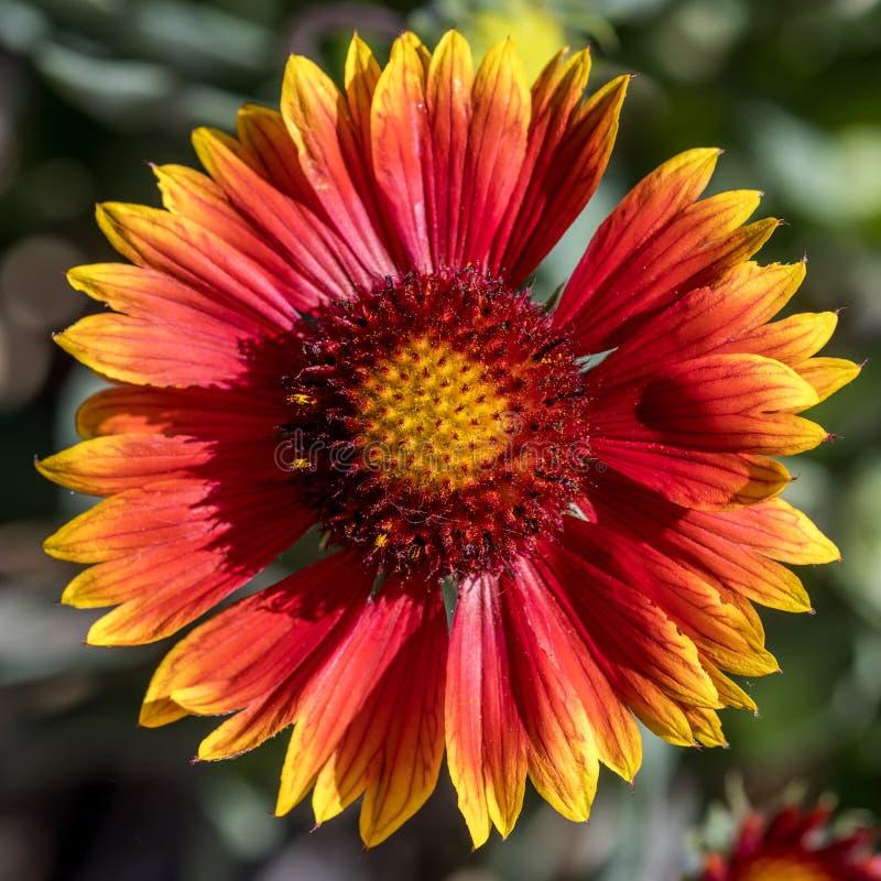 Powszechny kwiat w pełnym słońcu fotografia royalty free