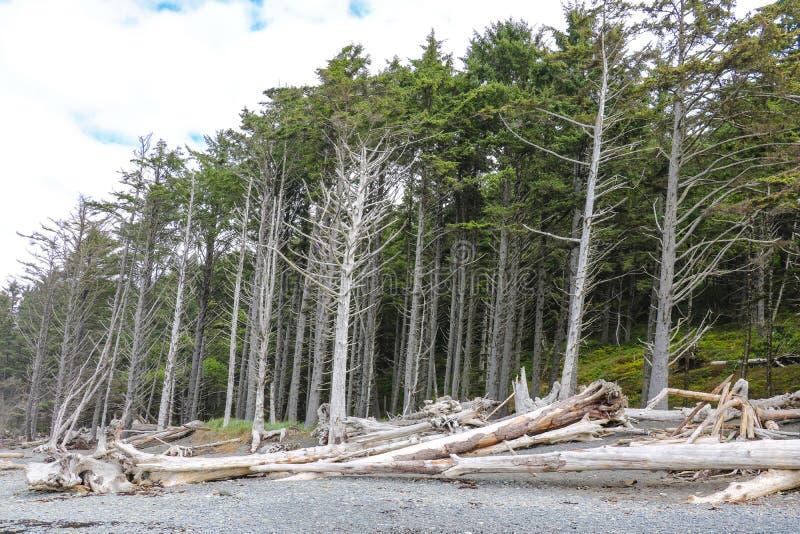 Powyginany driftwood i asortowani oceanów gruzy akumulujący na czarnych piaskach Przegrany Brzegowy backpacking ślad zdjęcie royalty free
