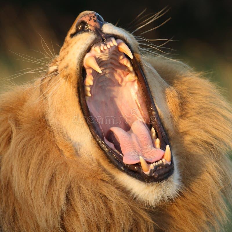 poziewanie lwa fotografia royalty free