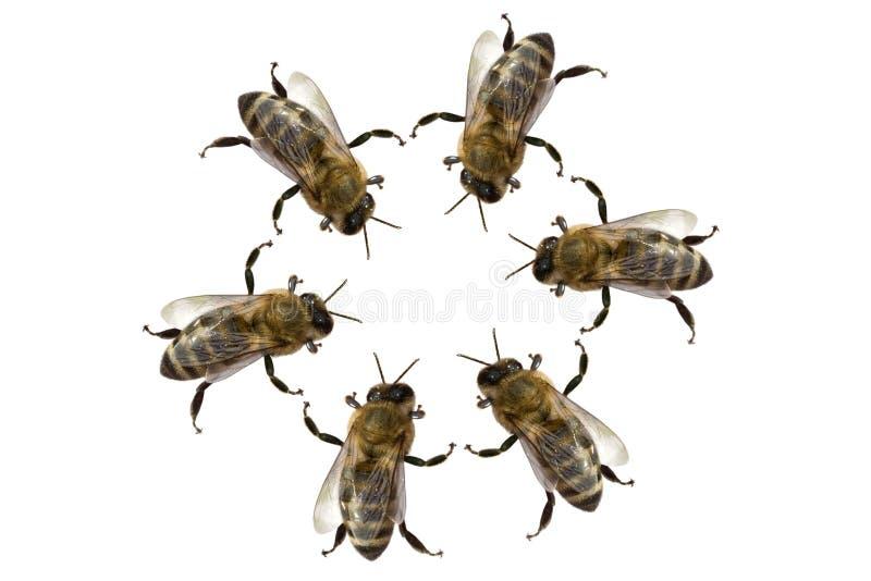 poznać pszczół obraz stock